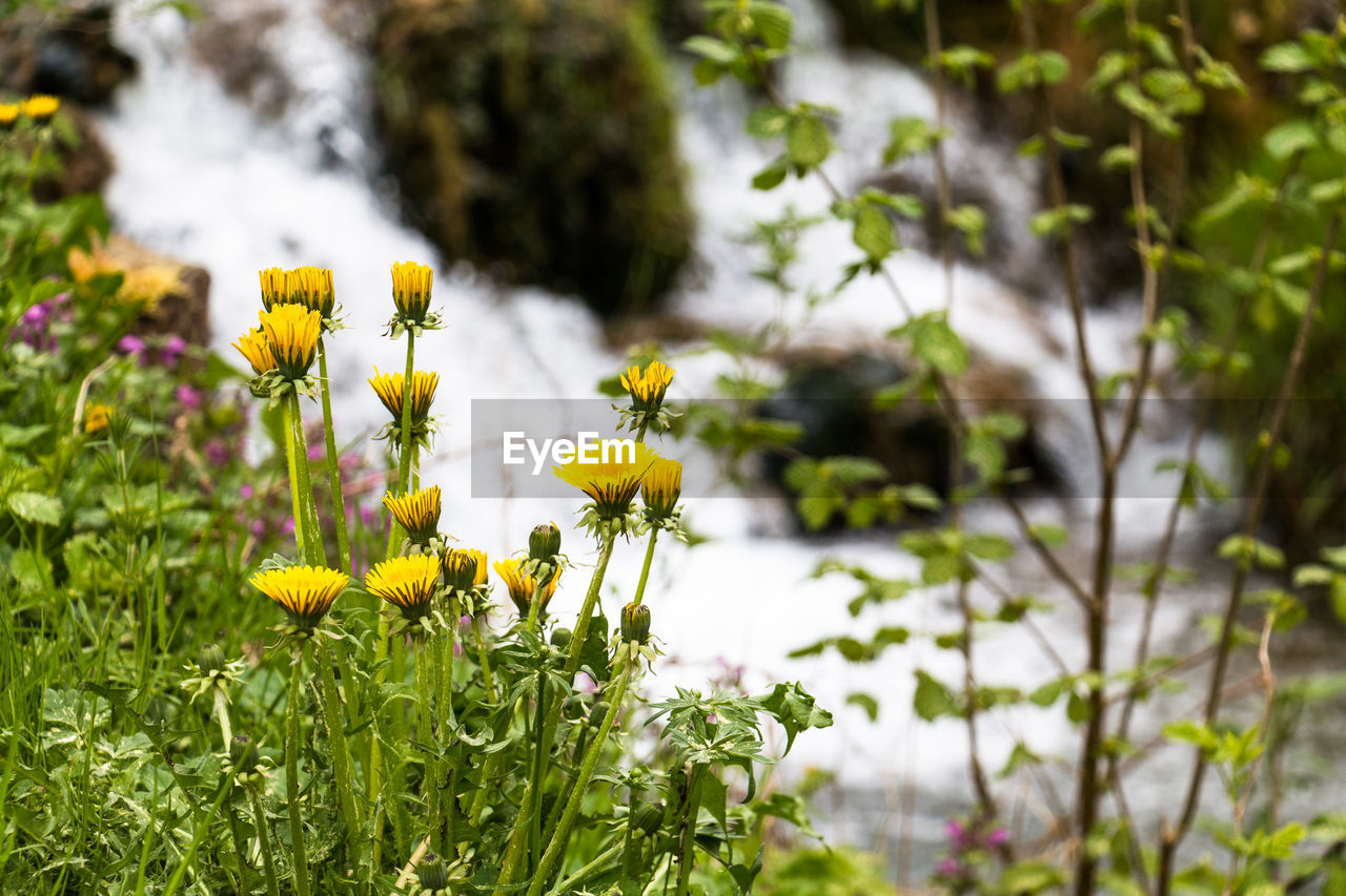 flowering plant, flower, plant, growth, fragility, vulnerability, freshness, beauty in nature, yellow, close-up, petal, focus on foreground, flower head, nature, inflorescence, selective focus, day, land, no people, field, outdoors