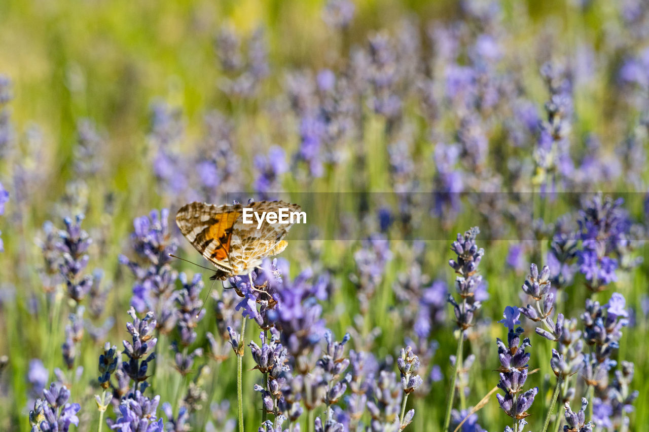 flower, flowering plant, insect, invertebrate, animal themes, beauty in nature, animal wildlife, plant, animal, one animal, animals in the wild, animal wing, fragility, vulnerability, freshness, butterfly - insect, close-up, purple, petal, growth, no people, flower head, lavender, pollination, outdoors, butterfly