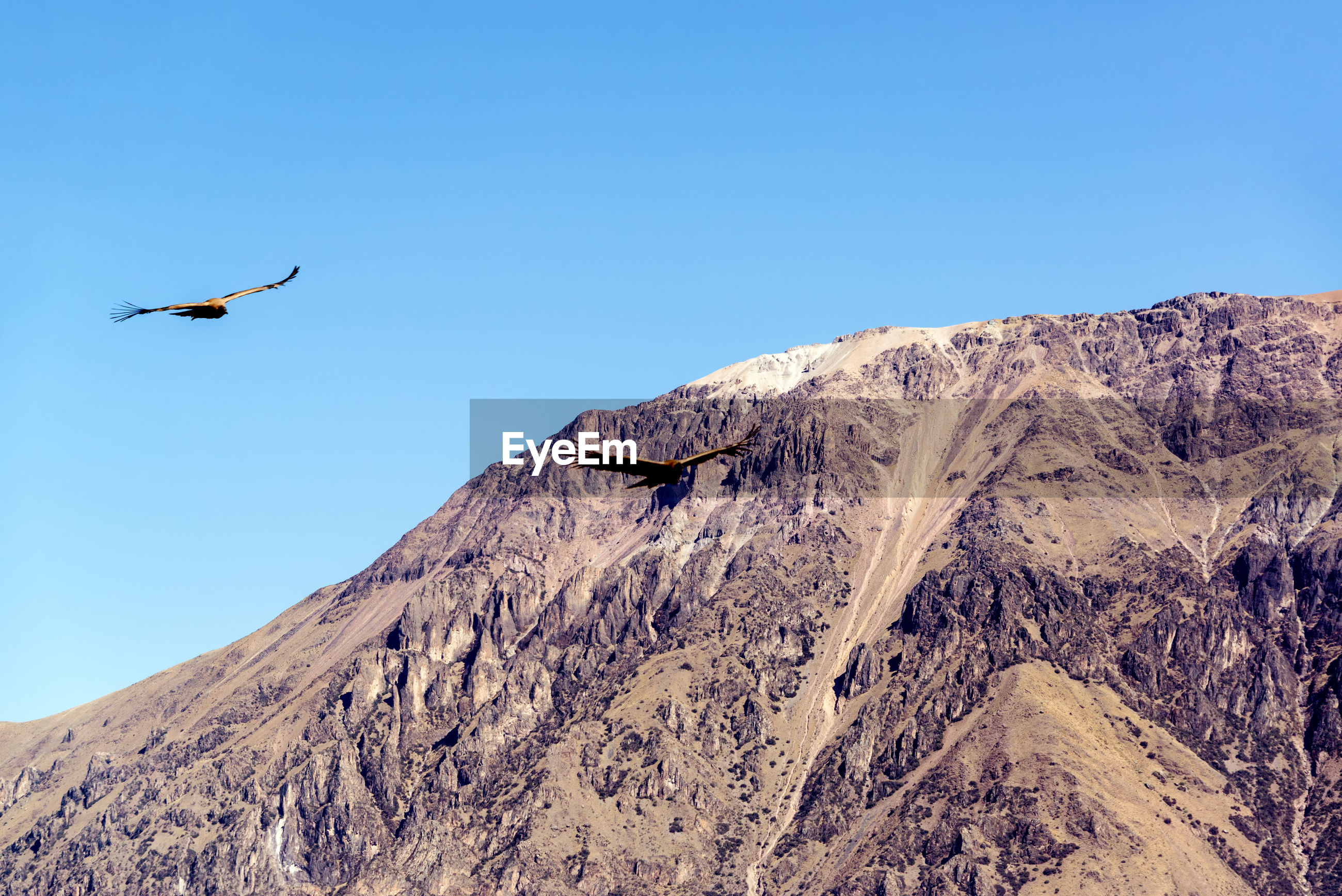 Andean condors flying over colca canyon against clear sky on sunny day
