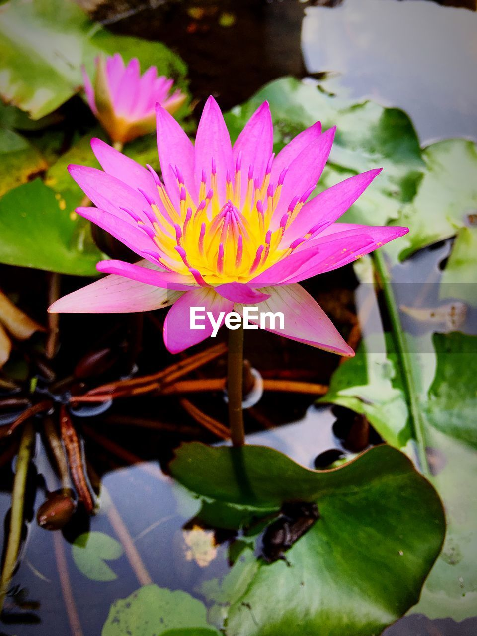 CLOSE-UP OF PINK WATER LILY BLOOMING