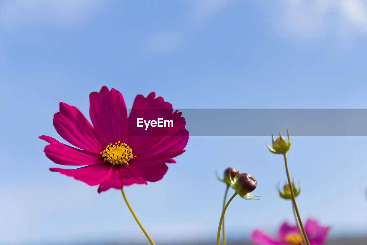 flowering plant, flower, fragility, vulnerability, freshness, beauty in nature, petal, plant, flower head, inflorescence, growth, close-up, sky, nature, focus on foreground, no people, pollen, cosmos flower, blue, plant stem, outdoors, sepal