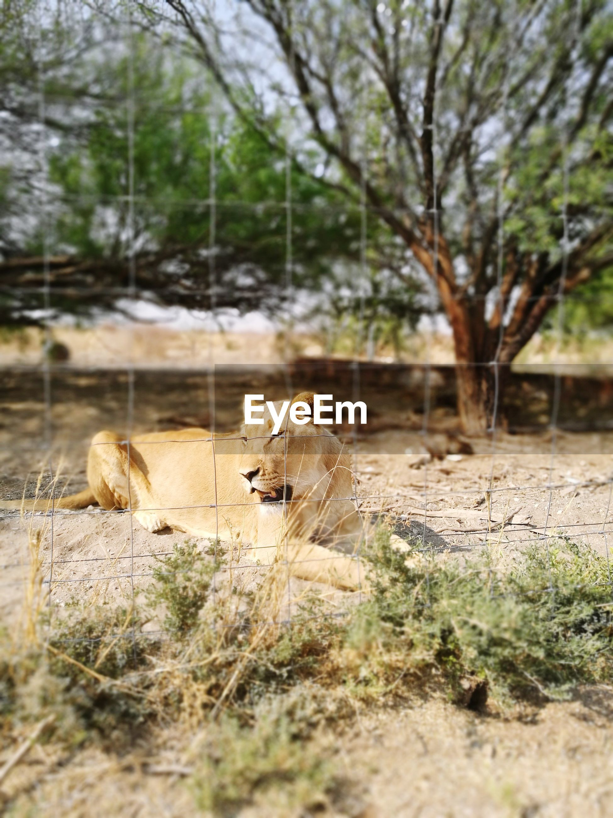 animal themes, animals in the wild, mammal, day, lioness, no people, lion - feline, nature, outdoors, tree