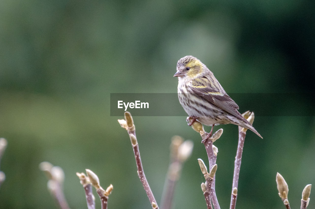 animal themes, animal, bird, animals in the wild, animal wildlife, one animal, vertebrate, plant, perching, focus on foreground, day, close-up, nature, no people, beauty in nature, sparrow, outdoors, growth, selective focus, plant stem