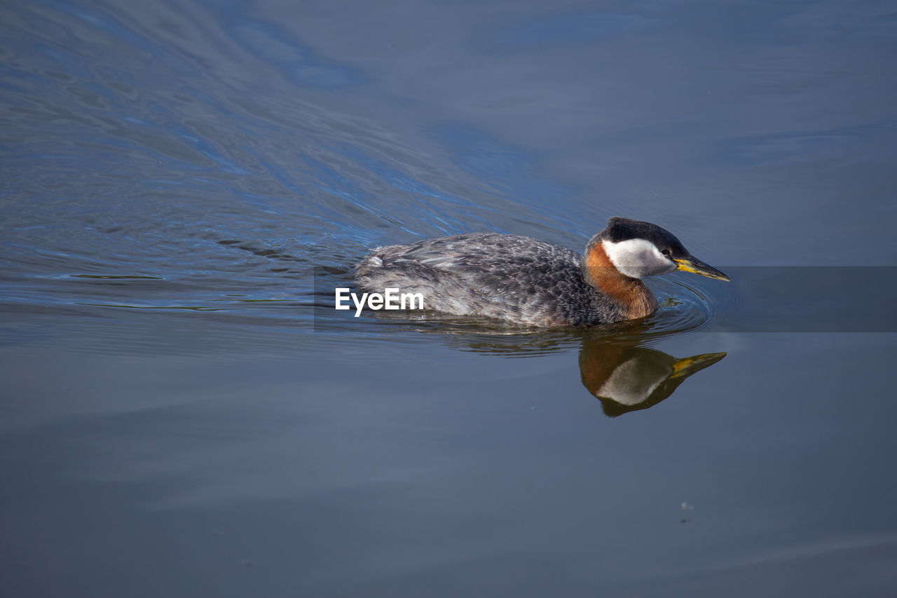 High angle view of grebe swimming in lake