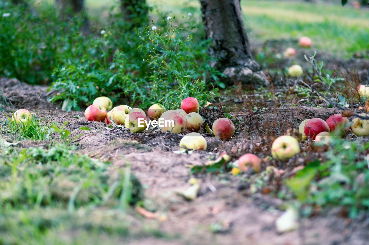 Apples On Field In Garden