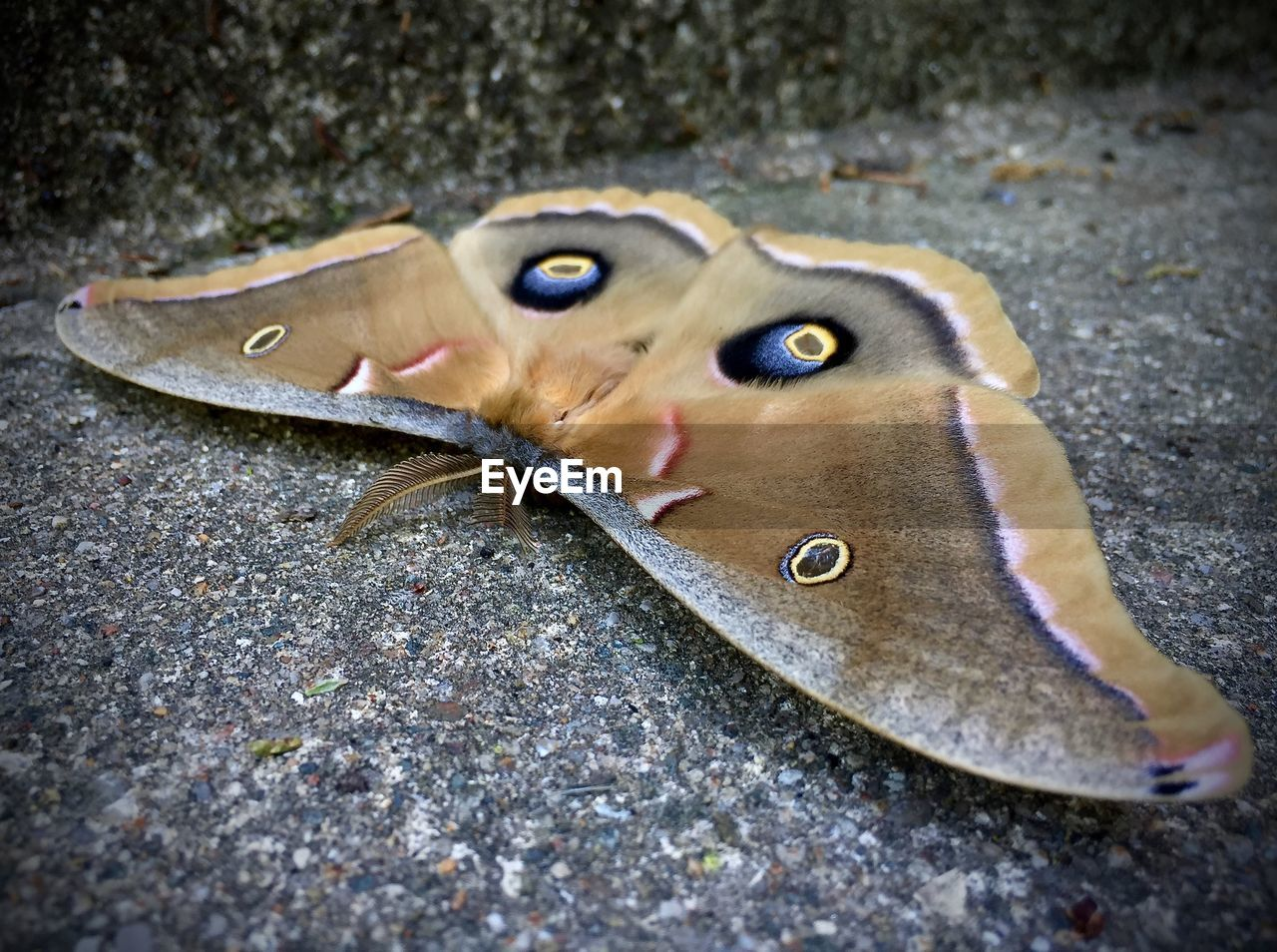 Close-up Of Giant Silk Moth On Asphalt
