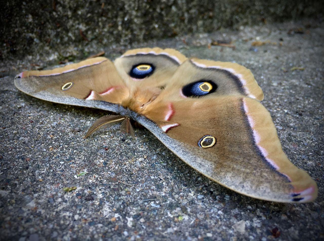 Close-up of giant silk moth on asphalt