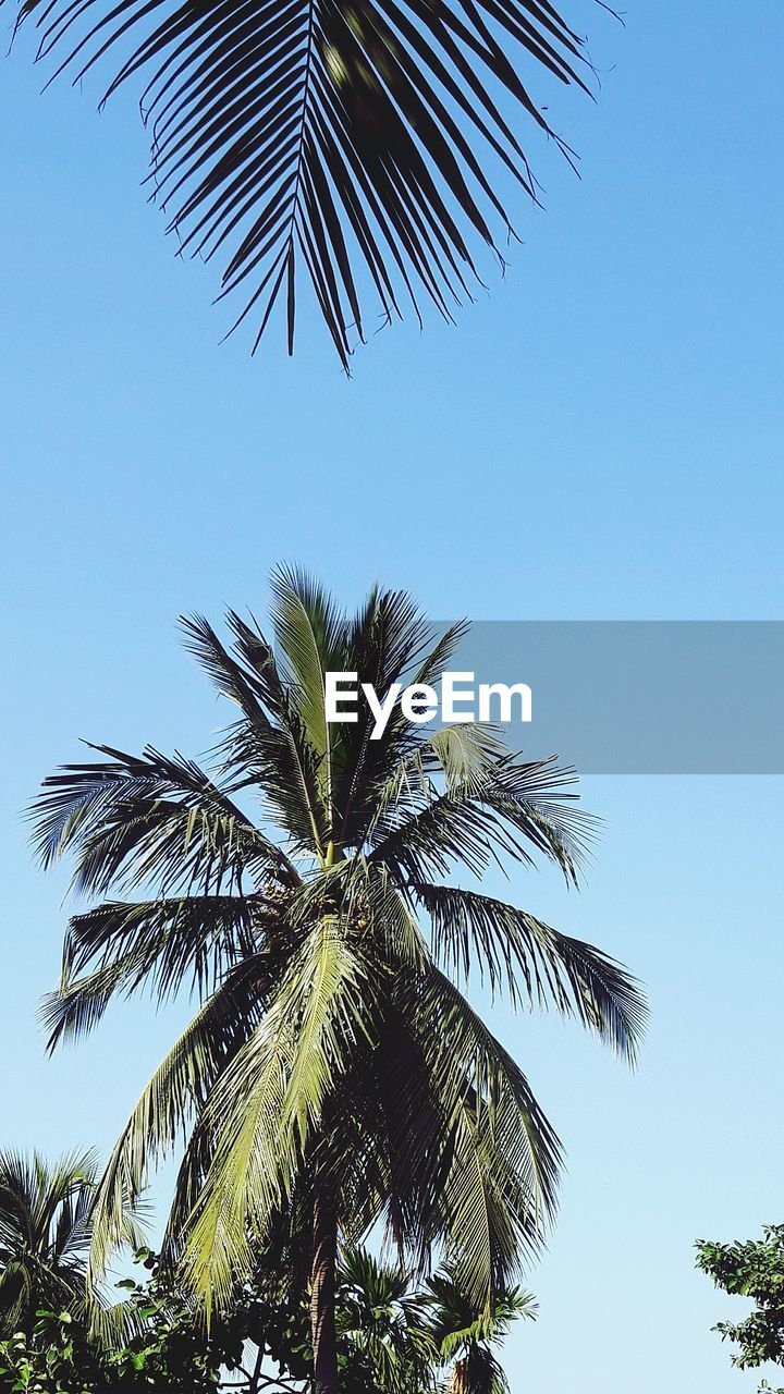 palm tree, low angle view, tree, clear sky, palm frond, palm leaf, growth, blue, nature, day, beauty in nature, no people, sky, outdoors, leaf, tree trunk, branch, close-up