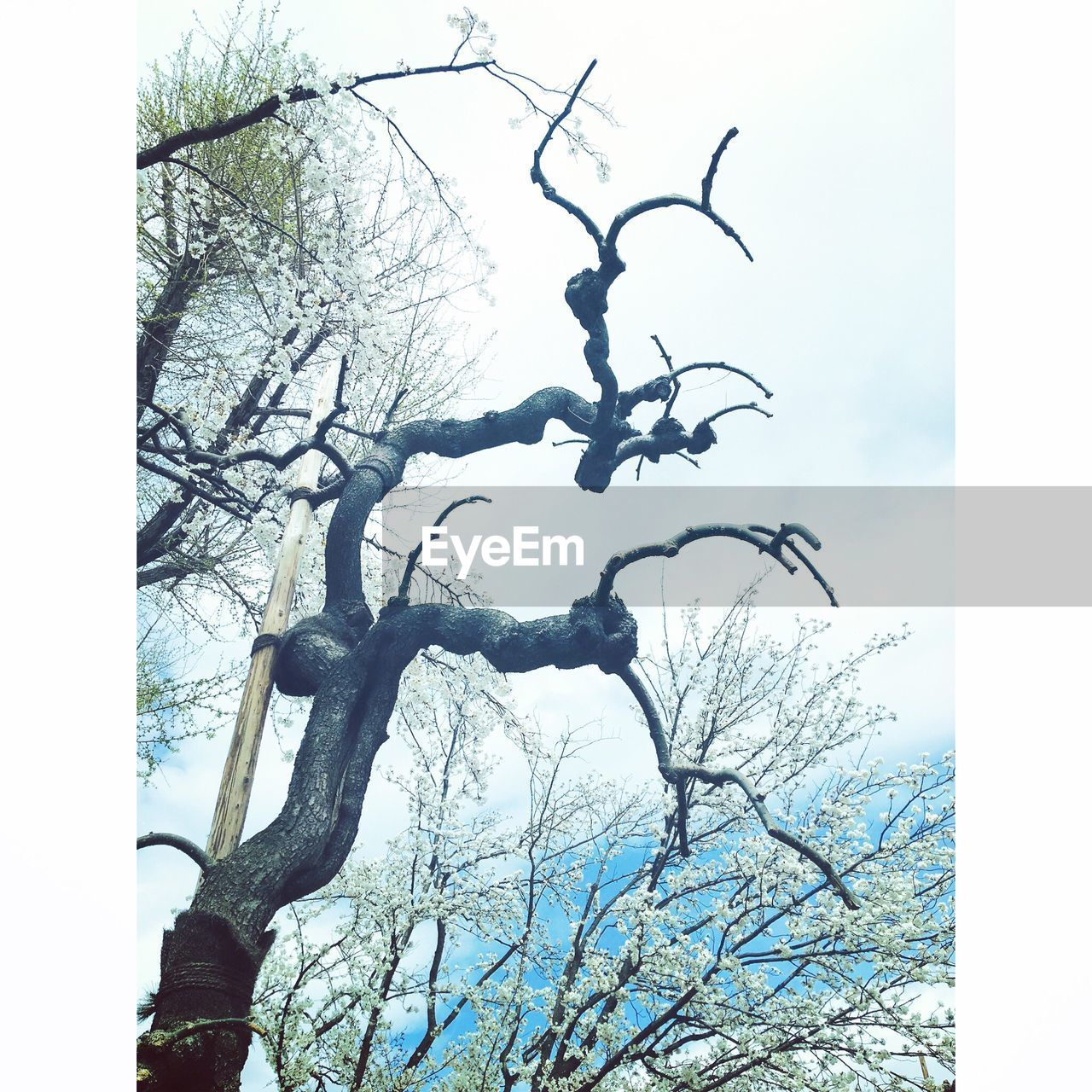 tree, bare tree, branch, tree trunk, day, low angle view, tranquility, sky, no people, outdoors, nature, lone, beauty in nature, dead tree