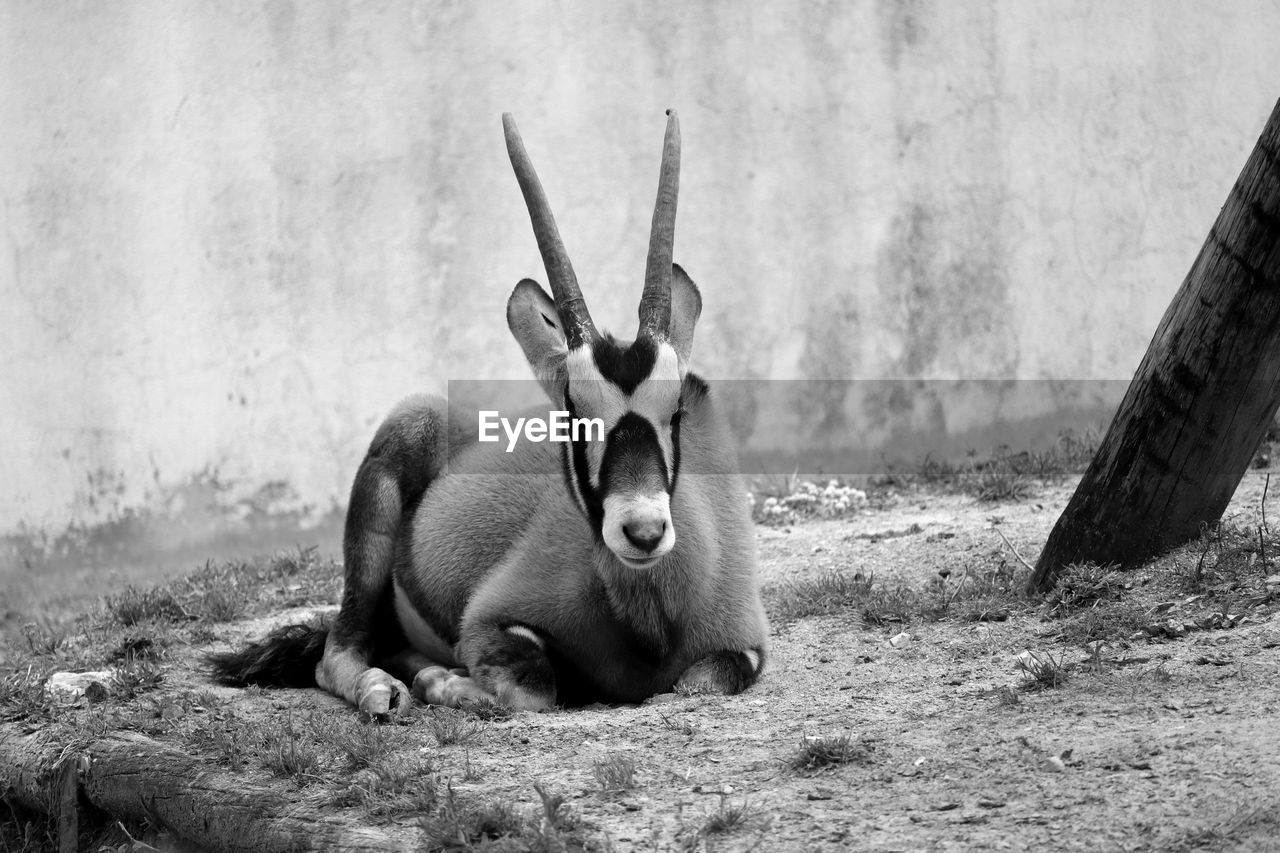 Oryx Resting On Field Against Wall