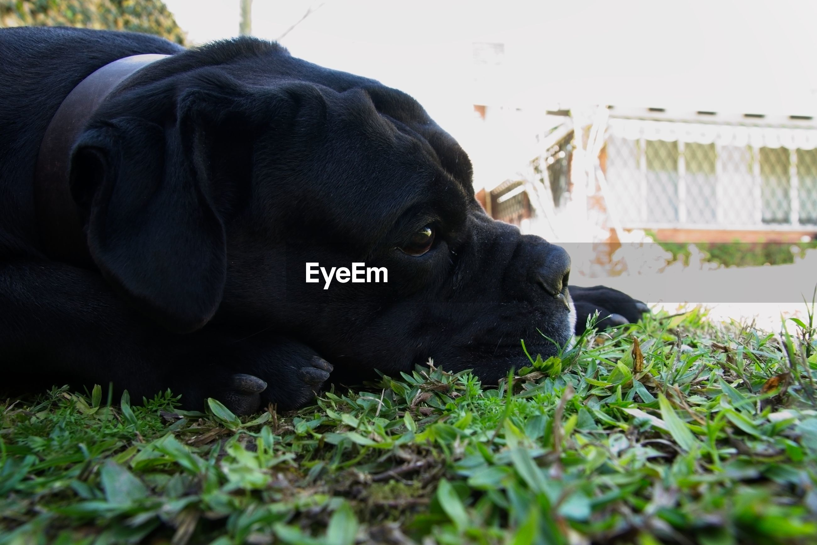 CLOSE-UP OF DOG LYING ON GRASS