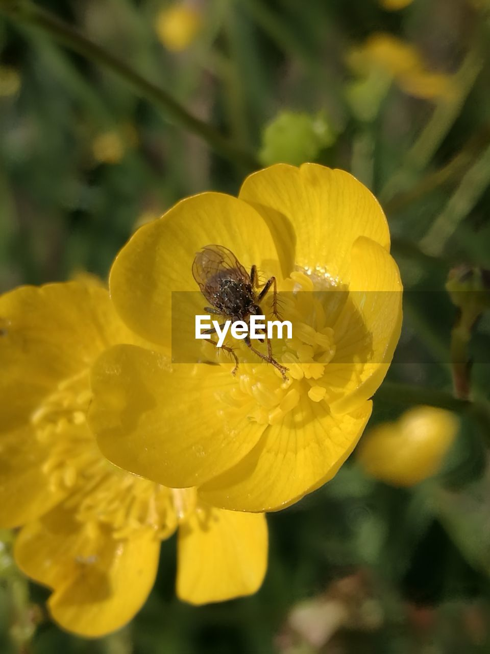 flower, insect, yellow, growth, nature, petal, one animal, plant, animals in the wild, fragility, animal themes, outdoors, freshness, beauty in nature, no people, focus on foreground, day, close-up, animal wildlife, flower head, bee, pollination