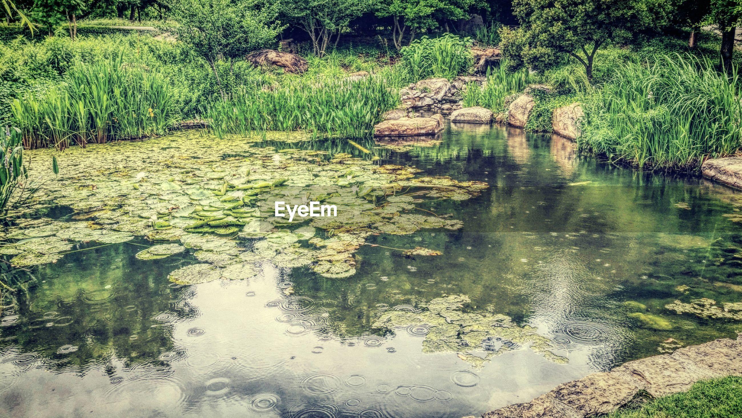 View of lotus leaves floating on water