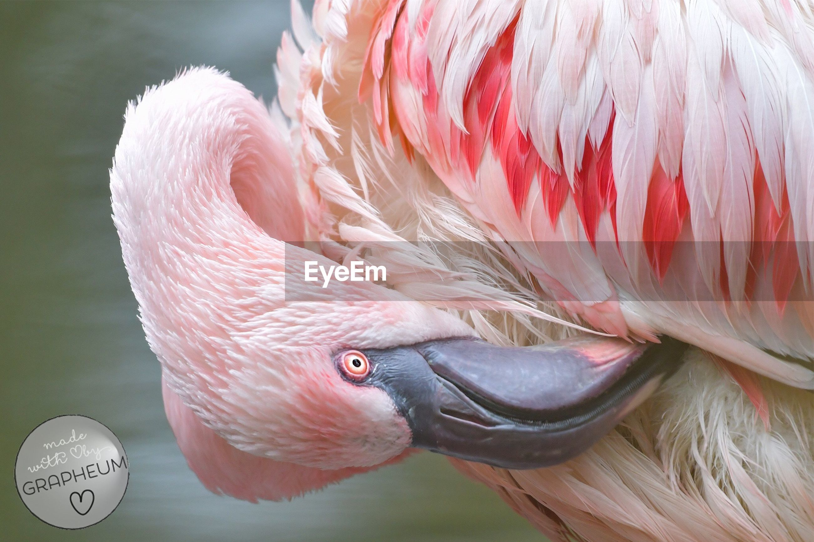 animal themes, flamingo, pink color, one animal, bird, close-up, no people, animal, animals in the wild, nature, sea life, outdoors, day