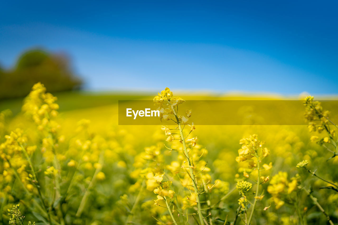 yellow, field, growth, beauty in nature, land, agriculture, plant, flower, oilseed rape, rural scene, flowering plant, landscape, sky, farm, nature, freshness, crop, tranquility, environment, fragility, no people, outdoors, springtime
