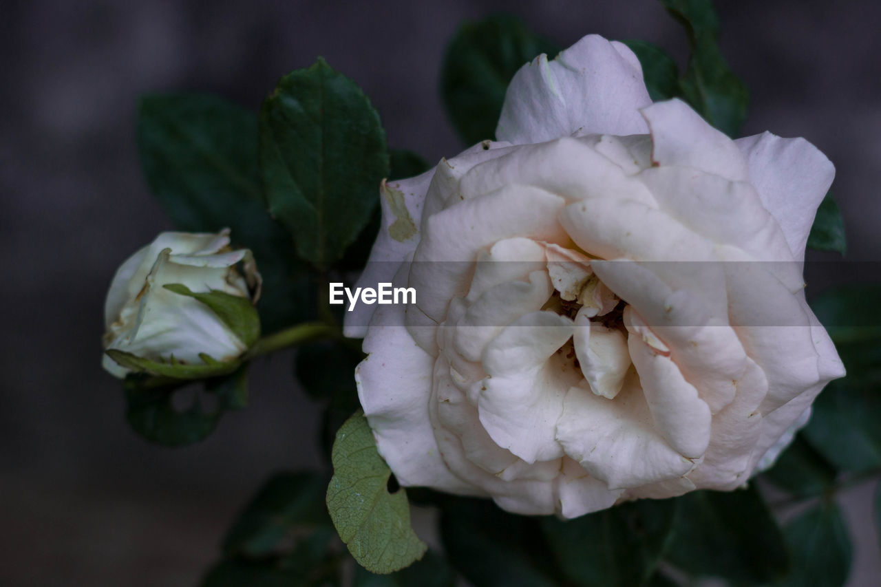 petal, beauty in nature, flowering plant, freshness, flower, vulnerability, plant, fragility, close-up, rose, flower head, inflorescence, rose - flower, growth, focus on foreground, nature, leaf, plant part, no people, white color, outdoors