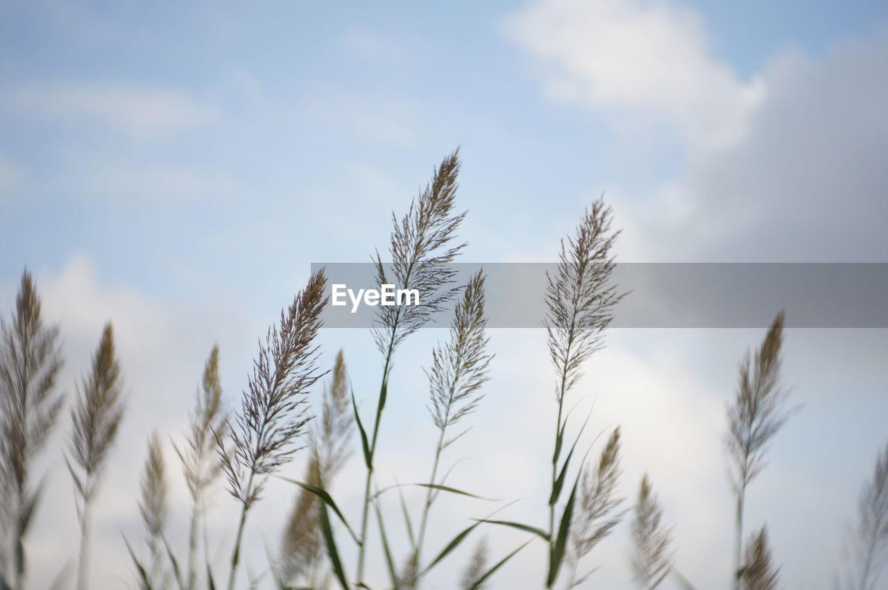 Close-up of stalks against sky