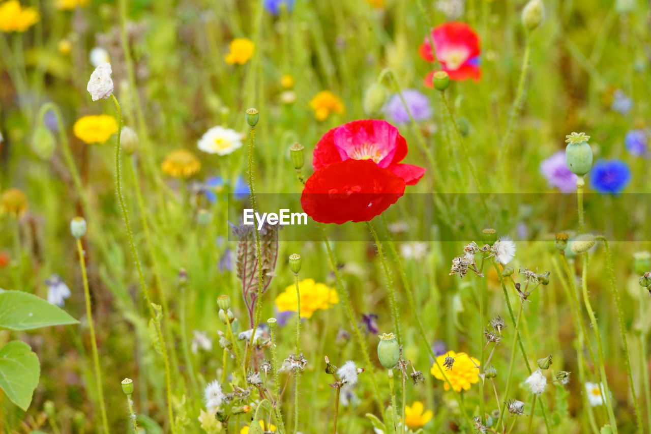 flowering plant, flower, plant, fragility, freshness, beauty in nature, growth, vulnerability, field, close-up, land, nature, poppy, green color, no people, red, selective focus, flower head, grass, inflorescence, outdoors, springtime, purple