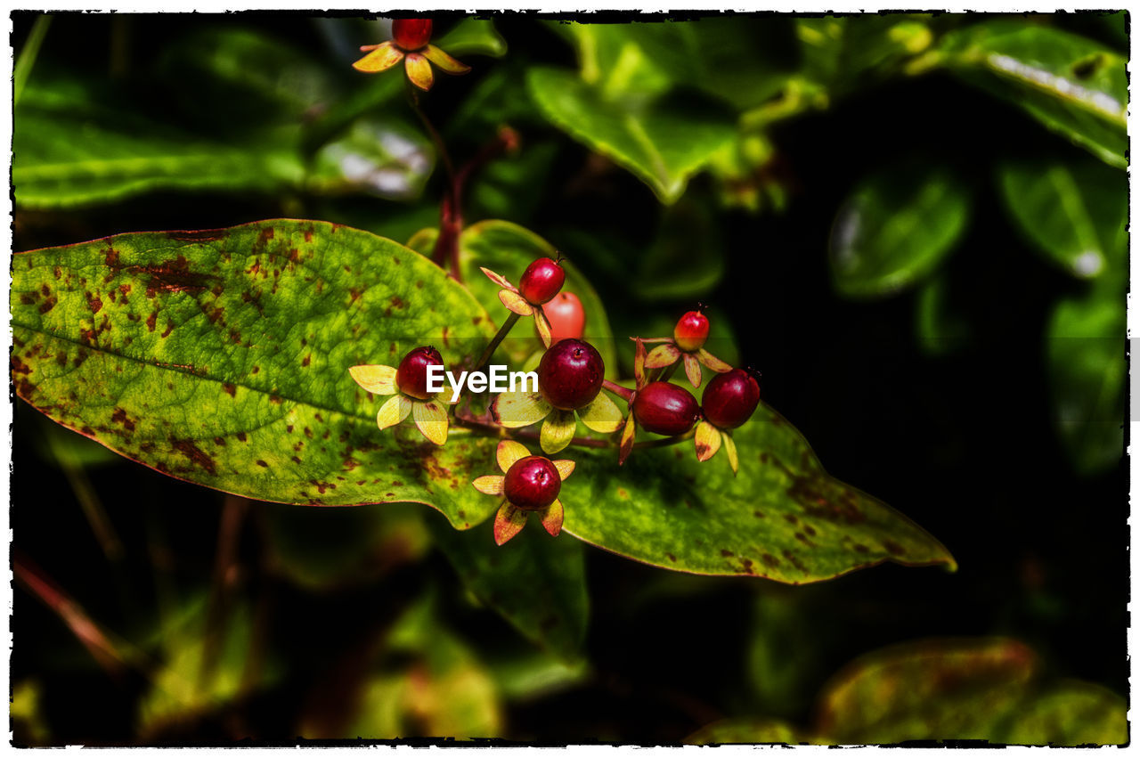 growth, leaf, close-up, plant, nature, green color, no people, fruit, day, freshness, outdoors, food and drink, focus on foreground, red, water, beauty in nature