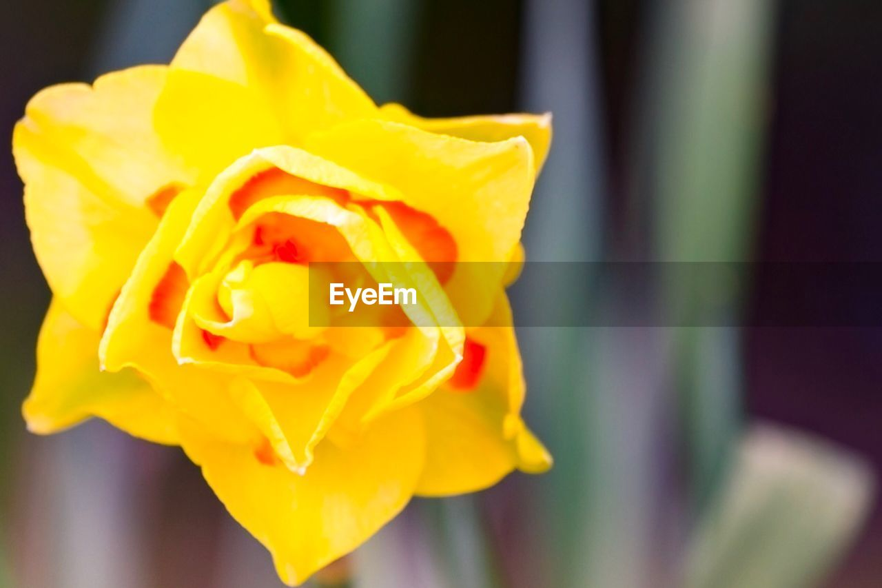 flower, petal, yellow, fragility, freshness, flower head, beauty in nature, close-up, rose - flower, nature, no people, blooming, focus on foreground, outdoors, day