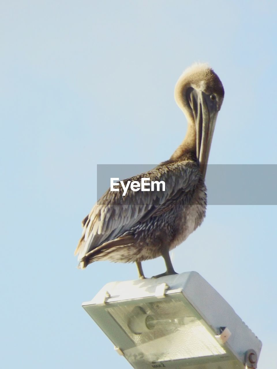 Low angle view of pelican on street light