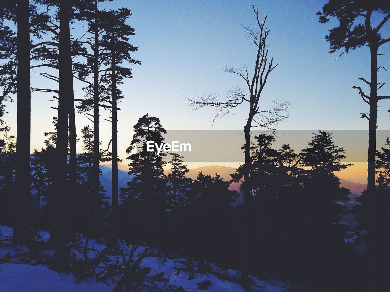 SILHOUETTE TREES IN FOREST AGAINST CLEAR SKY DURING WINTER