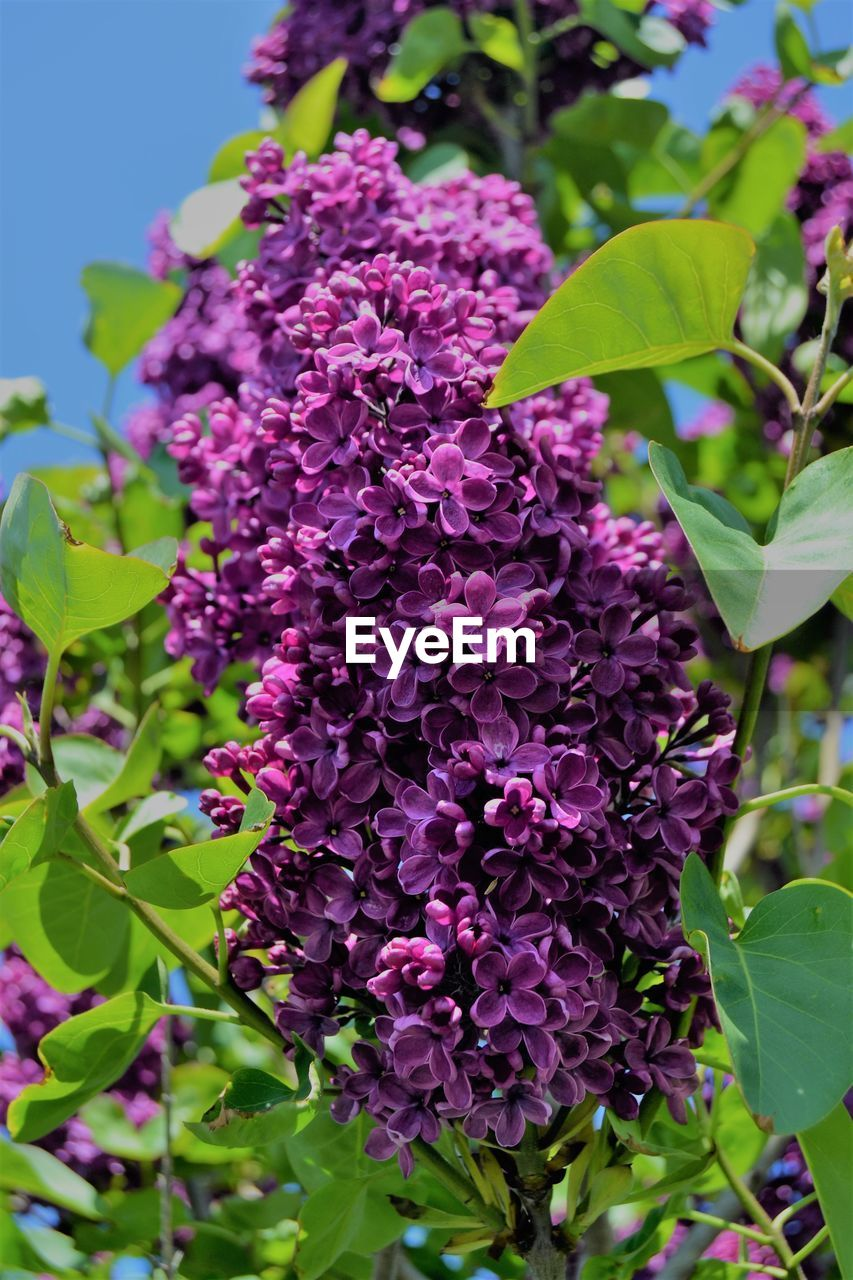 plant, flower, flowering plant, beauty in nature, growth, plant part, vulnerability, leaf, freshness, fragility, lilac, close-up, nature, petal, purple, day, pink color, botany, focus on foreground, no people, flower head, outdoors, bunch of flowers