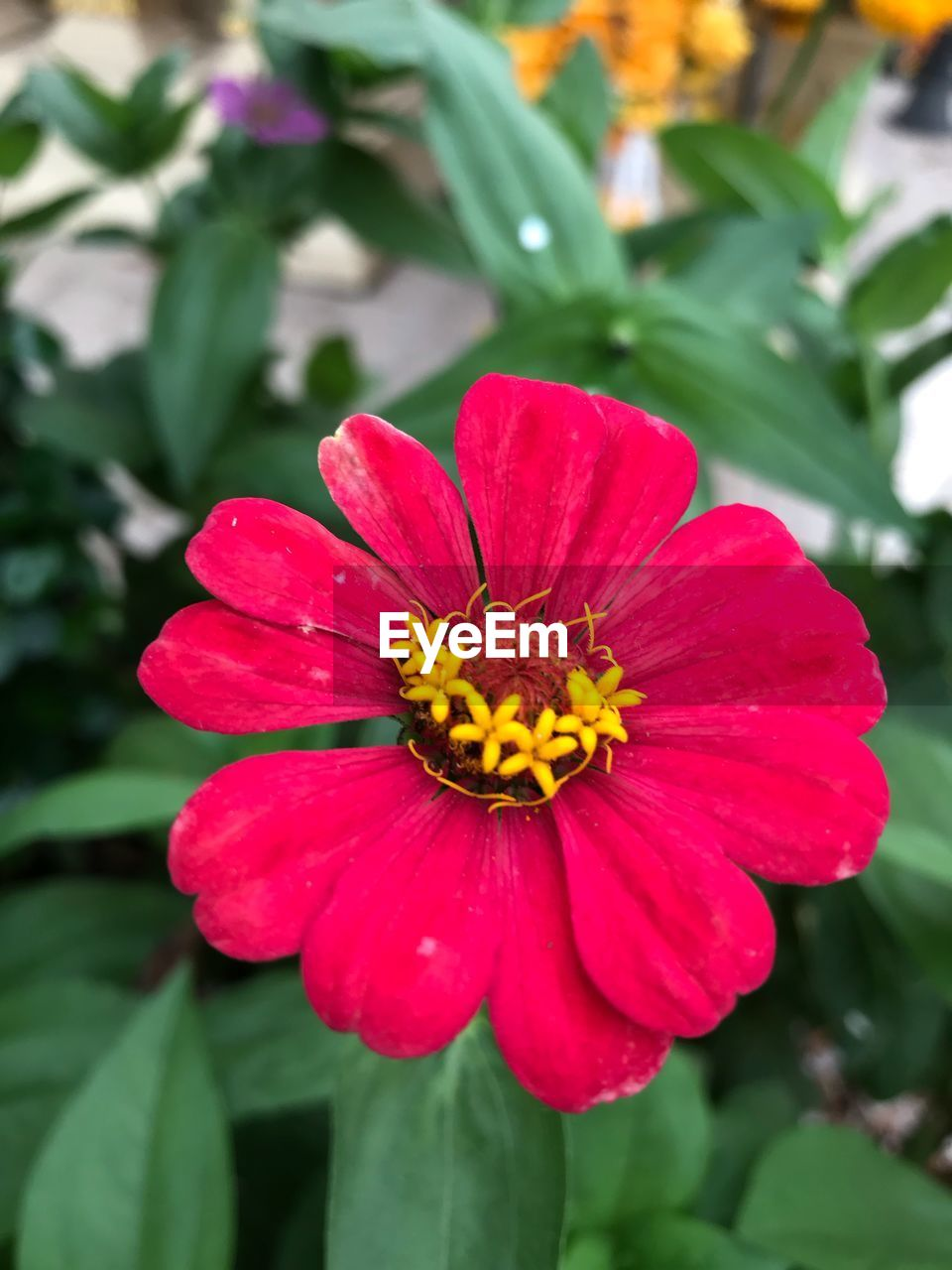 flower, petal, flower head, beauty in nature, nature, fragility, freshness, growth, plant, pollen, blooming, outdoors, close-up, yellow, focus on foreground, no people, day, zinnia