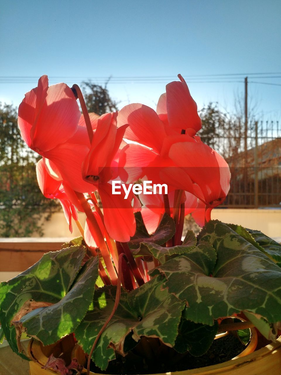 flower, petal, fragility, beauty in nature, plant, freshness, nature, growth, flower head, leaf, no people, day, outdoors, blooming, red, close-up, clear sky, sky