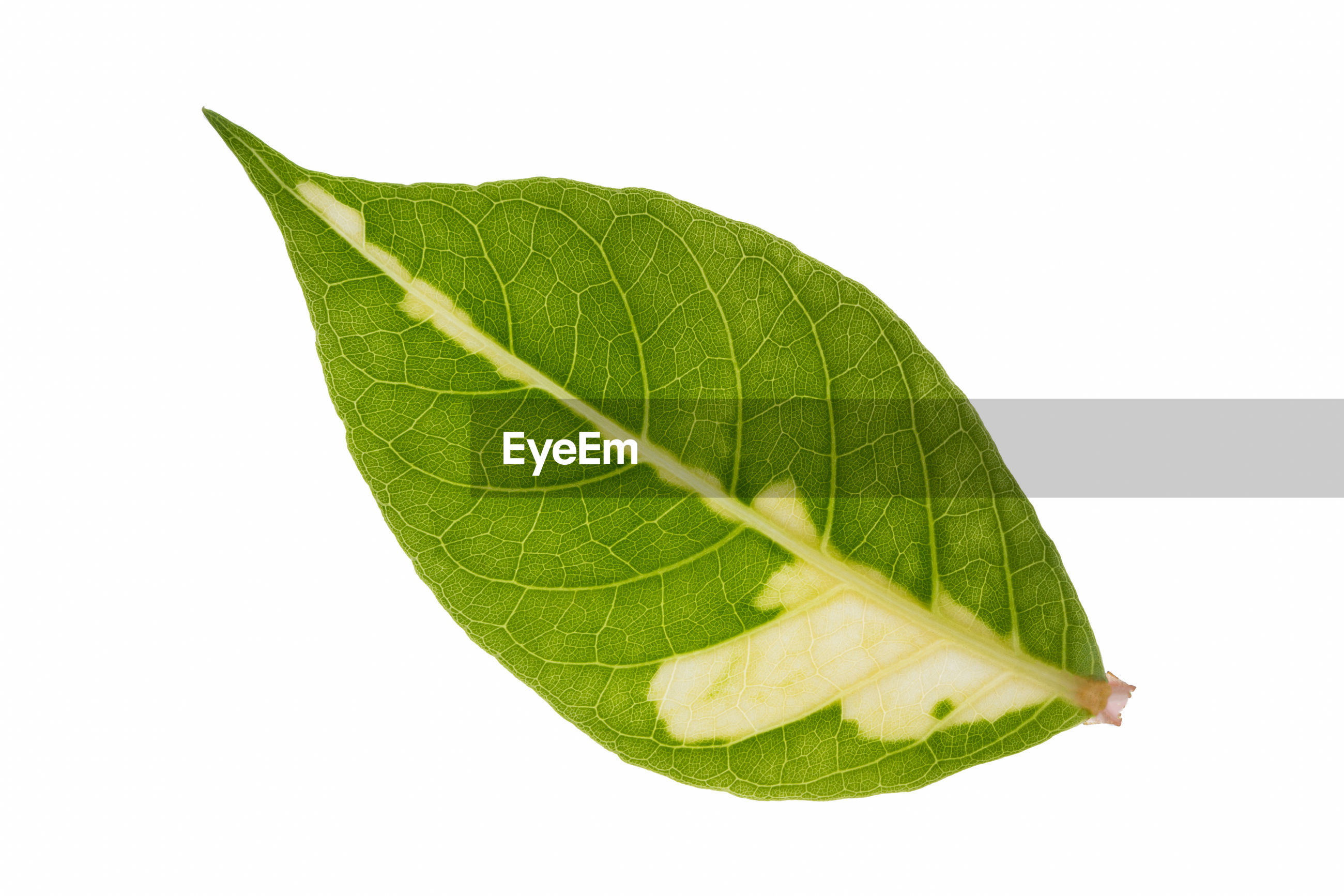 Close-up of dry leaf on white background