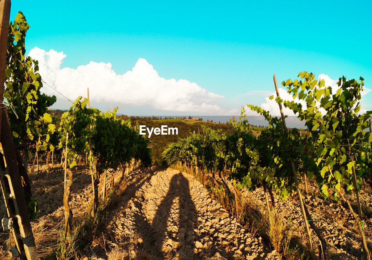 plant, sky, growth, scenics - nature, tranquility, nature, beauty in nature, tranquil scene, landscape, direction, the way forward, land, cloud - sky, agriculture, rural scene, environment, vineyard, tree, no people, day, diminishing perspective, outdoors, winemaking, plantation