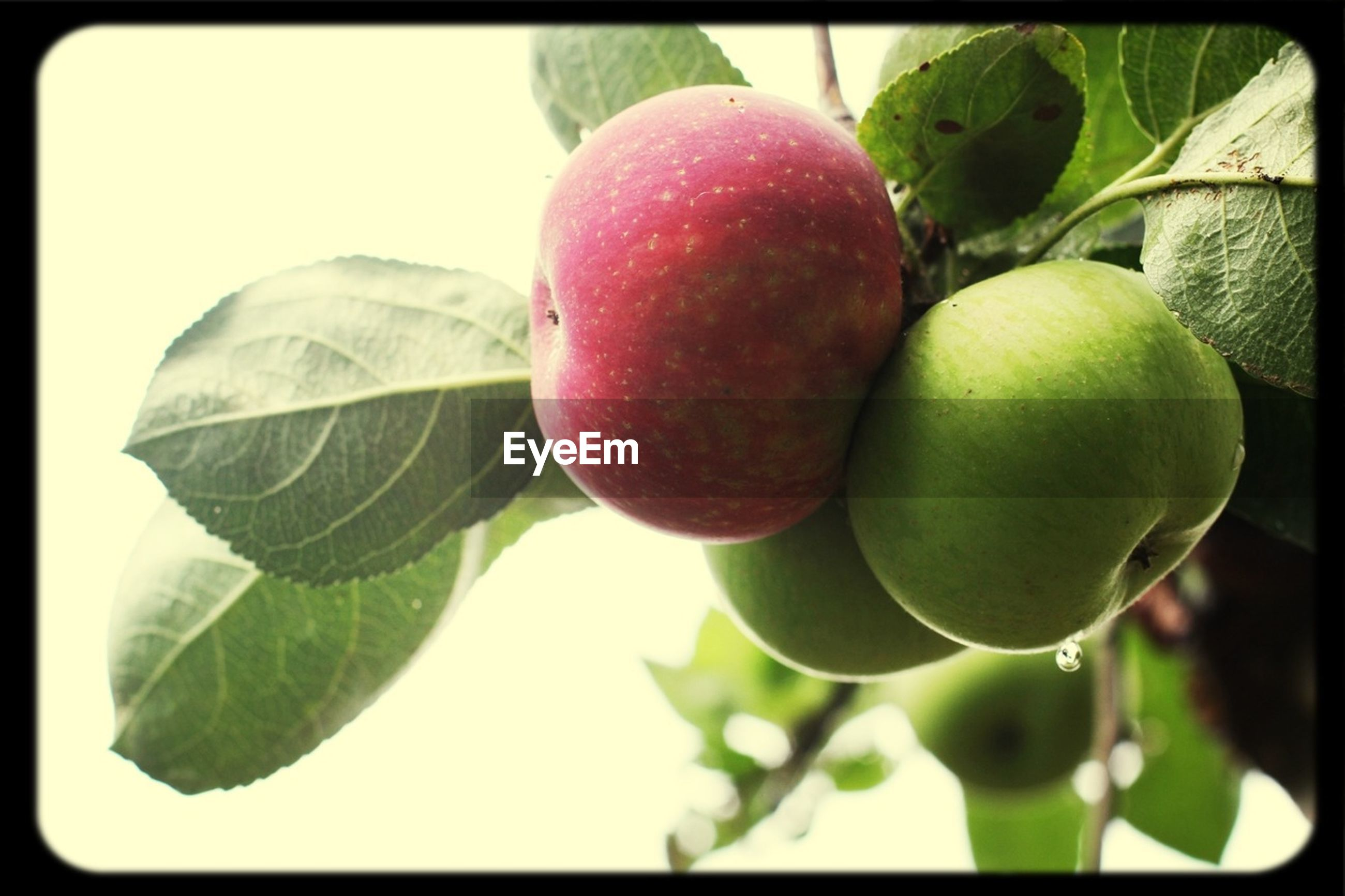 fruit, food and drink, healthy eating, food, freshness, green color, transfer print, close-up, leaf, growth, tree, ripe, branch, hanging, auto post production filter, apple, focus on foreground, apple - fruit, red, nature