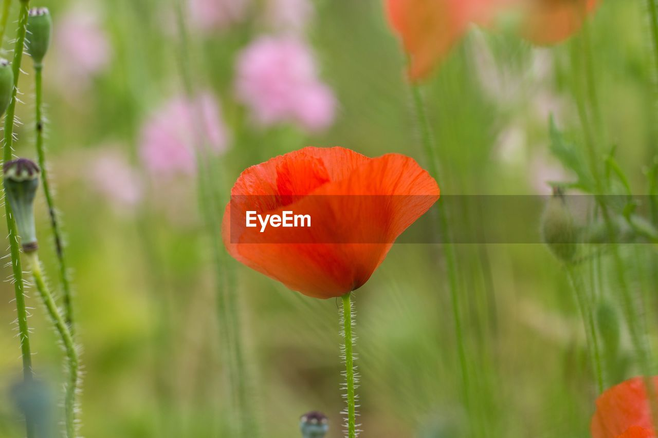 flowering plant, flower, beauty in nature, plant, fragility, vulnerability, petal, growth, freshness, flower head, inflorescence, close-up, nature, orange color, plant stem, selective focus, poppy, focus on foreground, green color, no people, outdoors, springtime, orange