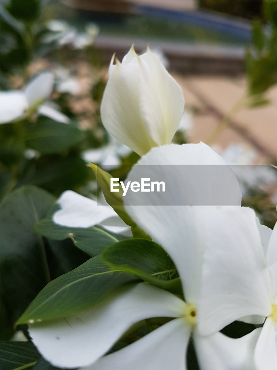 flower, petal, white color, beauty in nature, fragility, nature, freshness, flower head, growth, plant, no people, close-up, day, blooming, outdoors, snowdrop