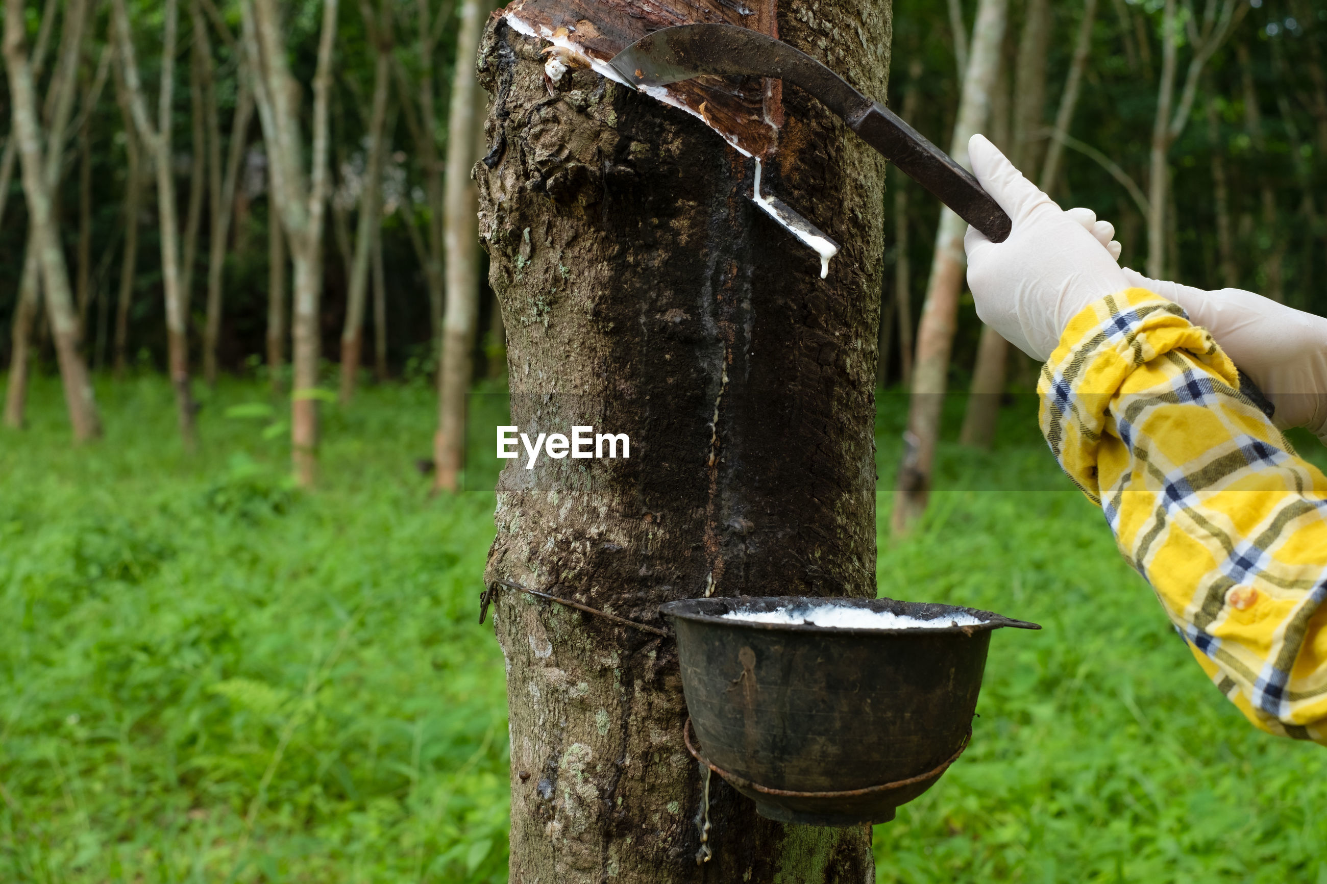 Fresh milky latex flows from para rubber tree into a plastic bowl