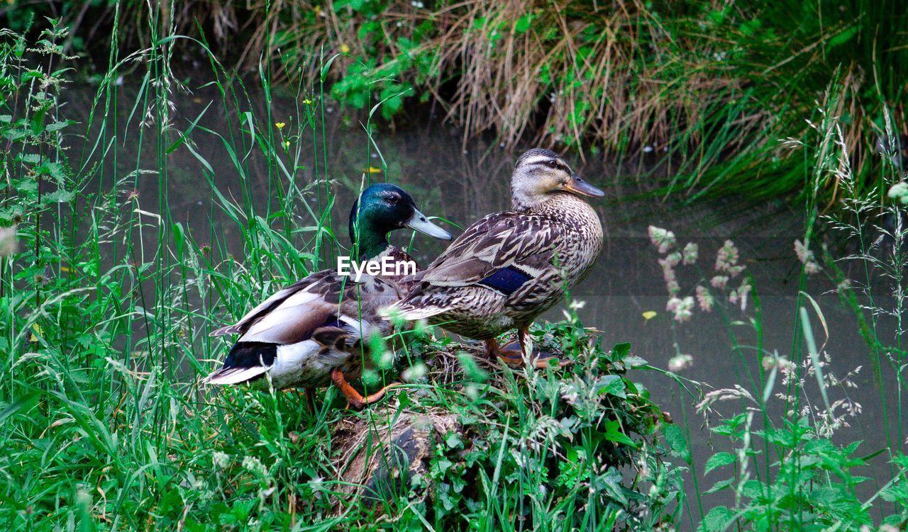 bird, animals in the wild, animal, animal wildlife, animal themes, group of animals, vertebrate, plant, duck, nature, poultry, green color, two animals, day, no people, grass, mallard duck, water, female animal, outdoors, animal family