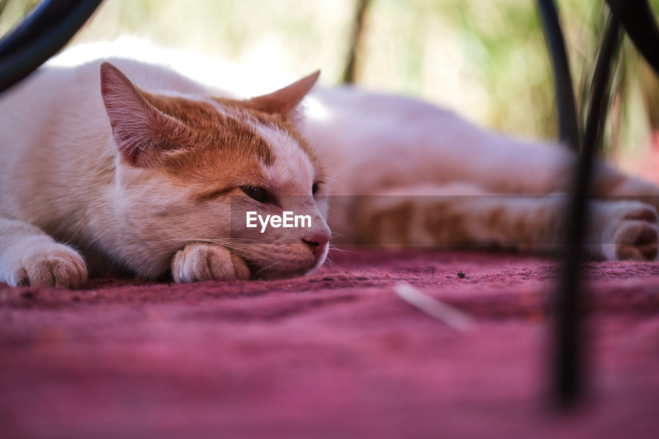mammal, animal themes, pets, domestic, domestic animals, animal, one animal, cat, vertebrate, selective focus, feline, domestic cat, relaxation, no people, resting, sleeping, close-up, lying down, eyes closed, indoors, surface level, whisker, napping, animal head