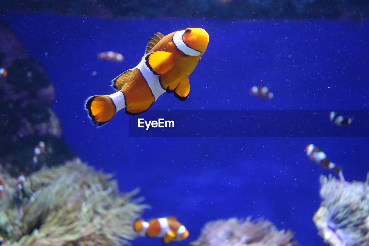 underwater, water, swimming, sea life, animal themes, animals in the wild, fish, clown fish, one animal, undersea, aquarium, animal wildlife, nature, indoors, close-up, no people, day