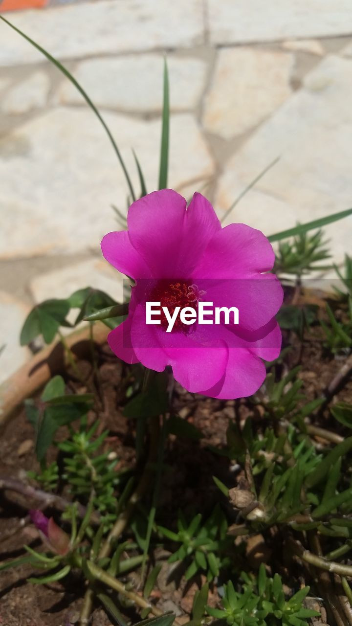 flower, fragility, petal, beauty in nature, nature, plant, growth, high angle view, day, freshness, outdoors, pink color, flower head, purple, no people, focus on foreground, blooming, close-up, petunia, crocus