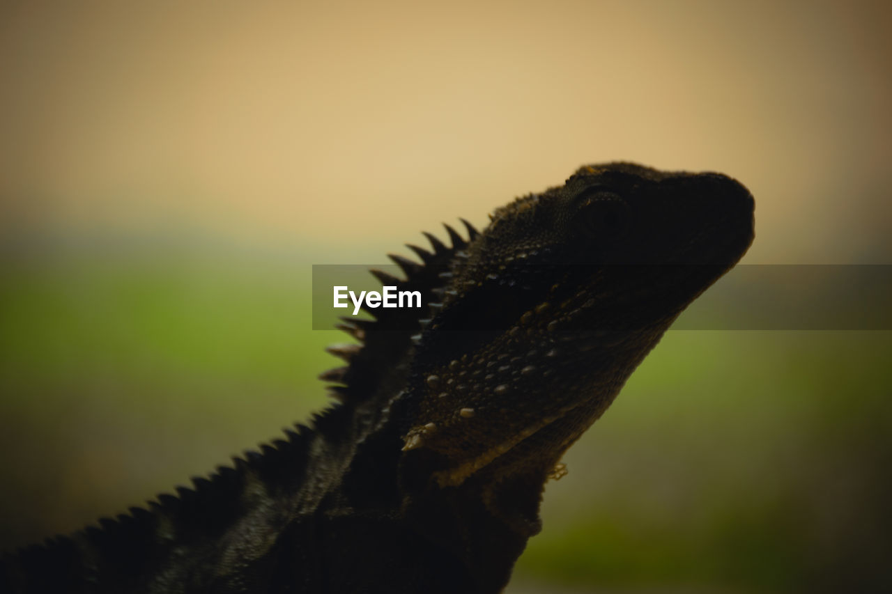 no people, reptile, close-up, one animal, lizard, focus on foreground, animal themes, animal, animal body part, animal wildlife, nature, vertebrate, animals in the wild, green color, outdoors, spiked, plant, selective focus, day, beauty in nature, animal head, iguana, spiky