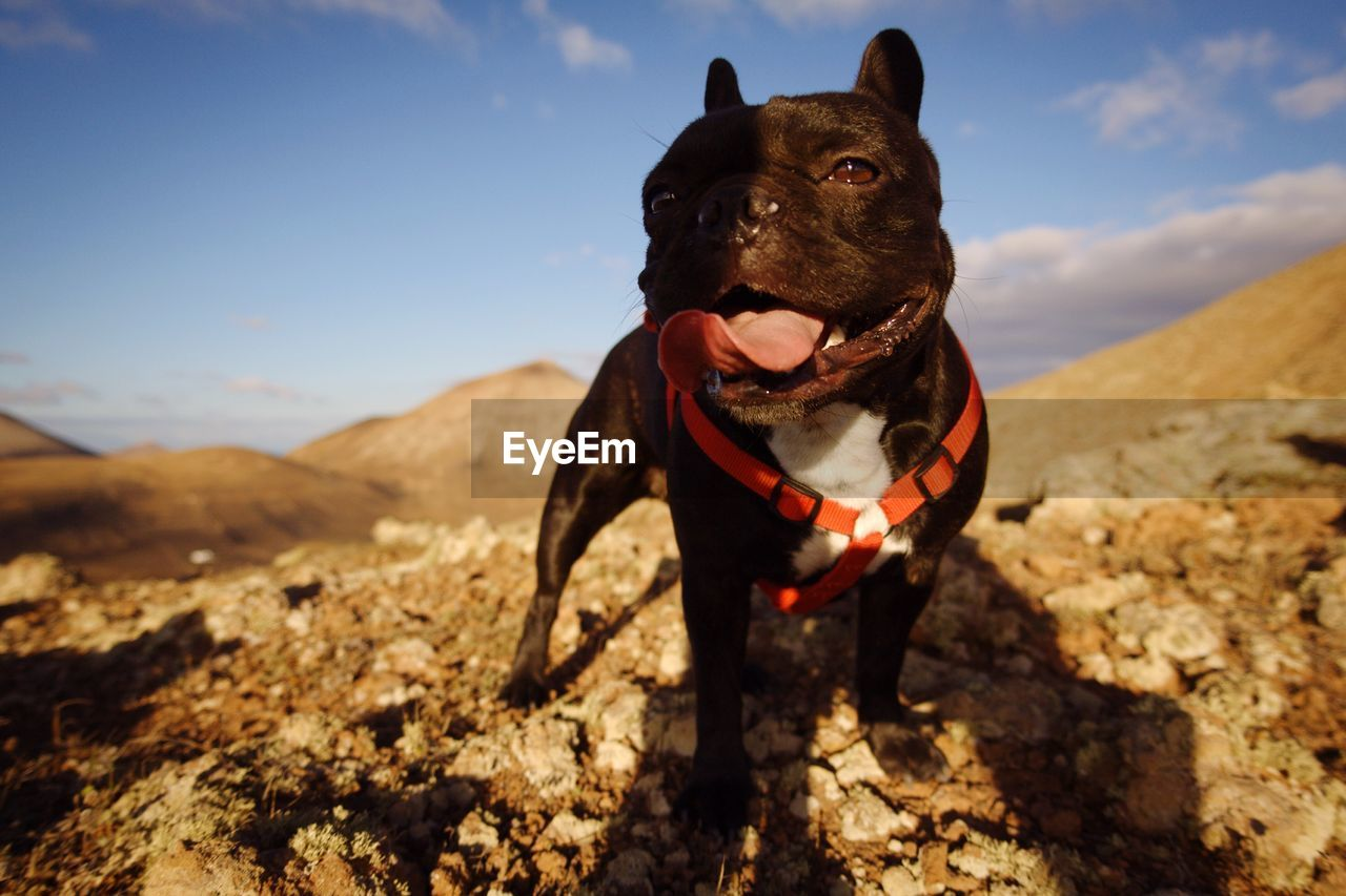 Close-up of french bulldog on hill