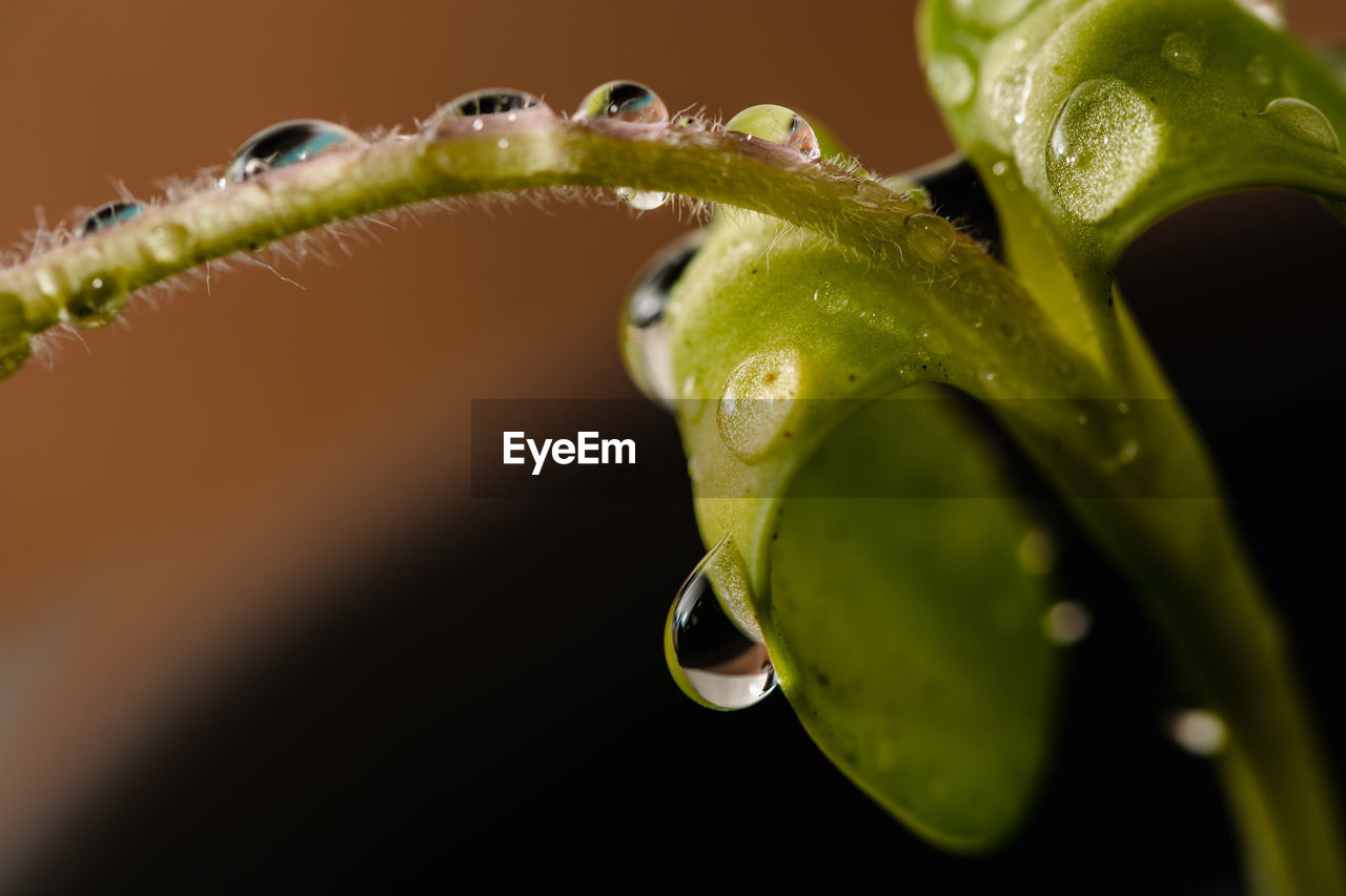 close-up, green color, plant, leaf, plant part, selective focus, drop, growth, freshness, no people, nature, water, beauty in nature, wet, vulnerability, fragility, outdoors, food and drink, focus on foreground, purity, black background, raindrop, dew