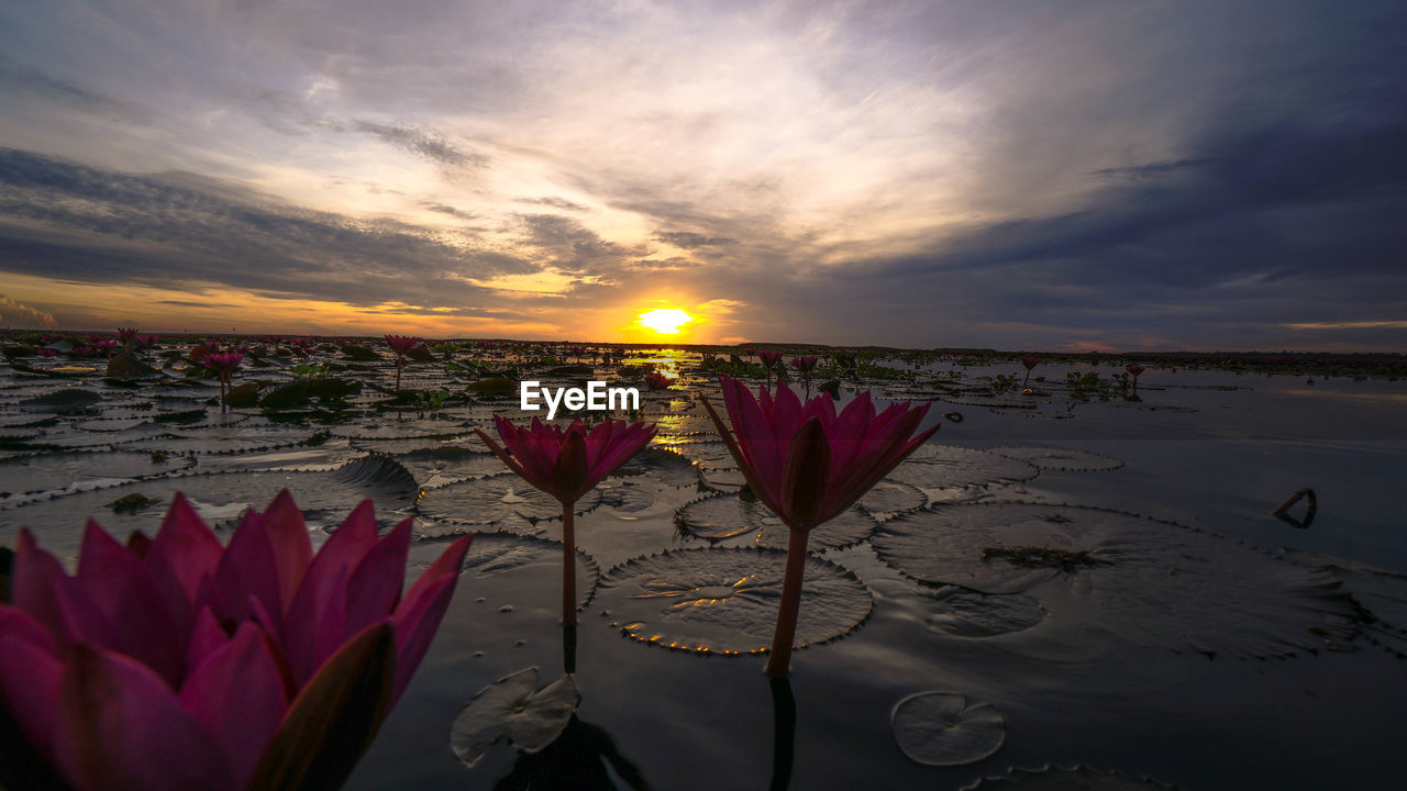 beauty in nature, sky, sunset, cloud - sky, water, flower, nature, freshness, flowering plant, vulnerability, plant, fragility, scenics - nature, tranquility, tranquil scene, sun, no people, reflection, petal, outdoors, flower head