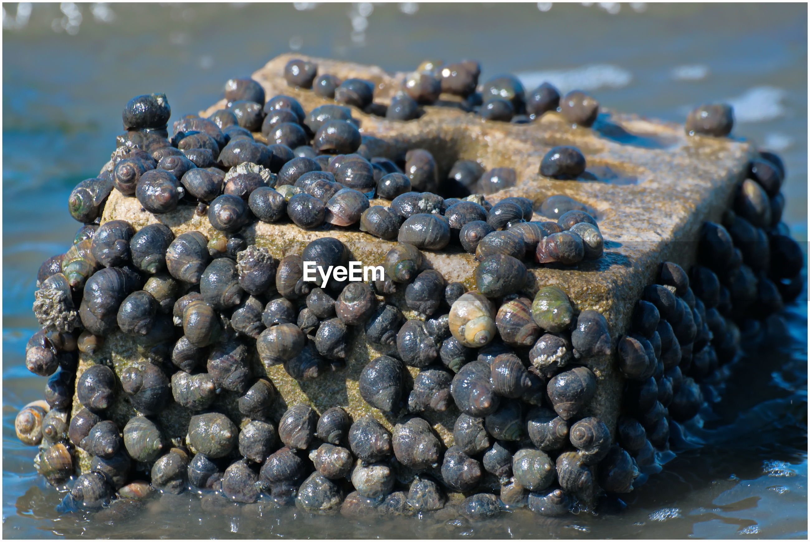 CLOSE-UP OF BLUEBERRIES ON PEBBLES