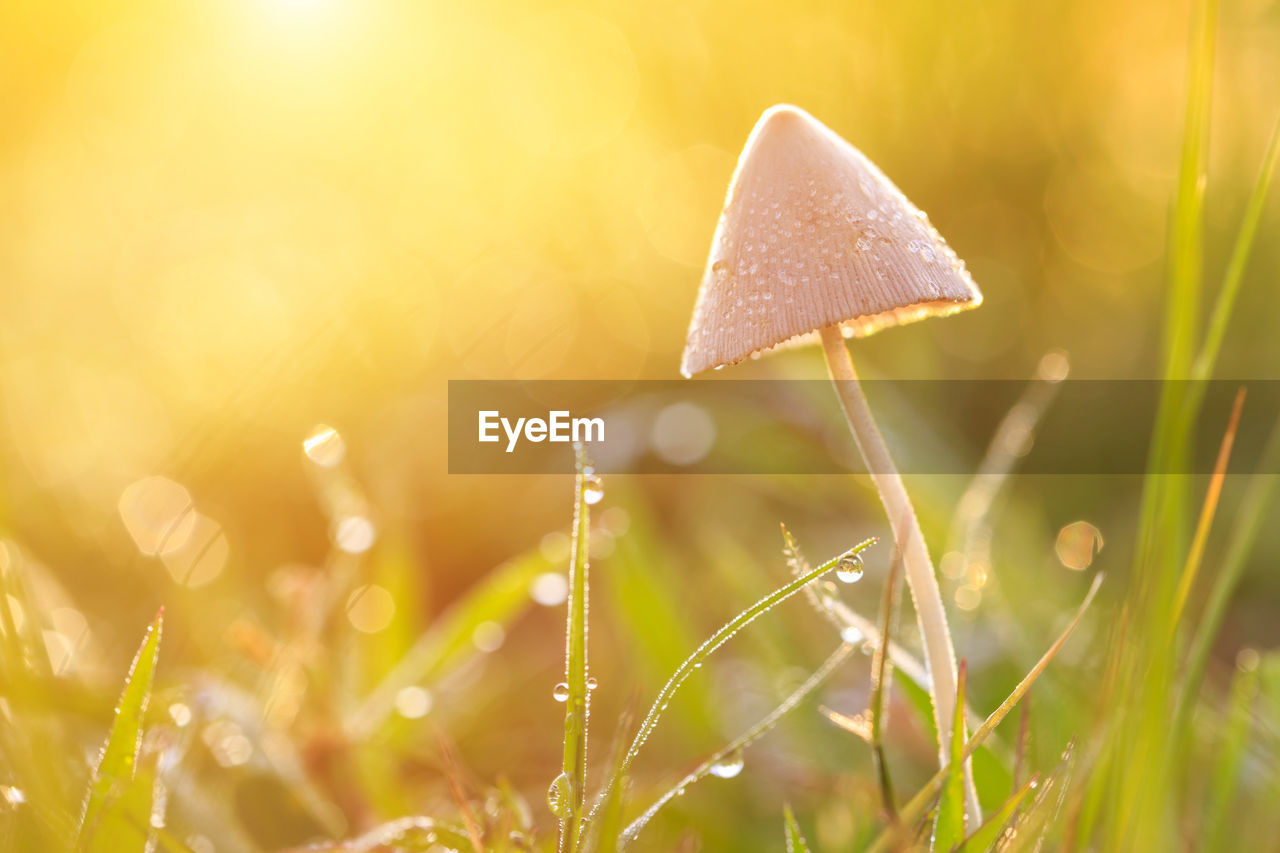 plant, growth, close-up, beauty in nature, selective focus, nature, land, no people, vulnerability, wet, grass, freshness, drop, fungus, mushroom, fragility, vegetable, field, water, blade of grass, outdoors, dew, toadstool, raindrop