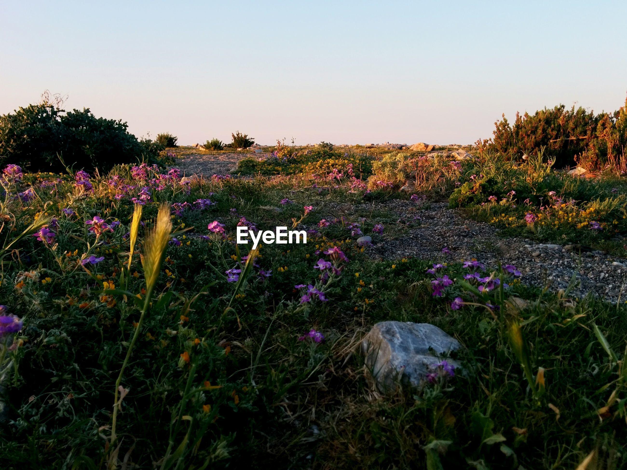 Flowers blooming in field against clear sky