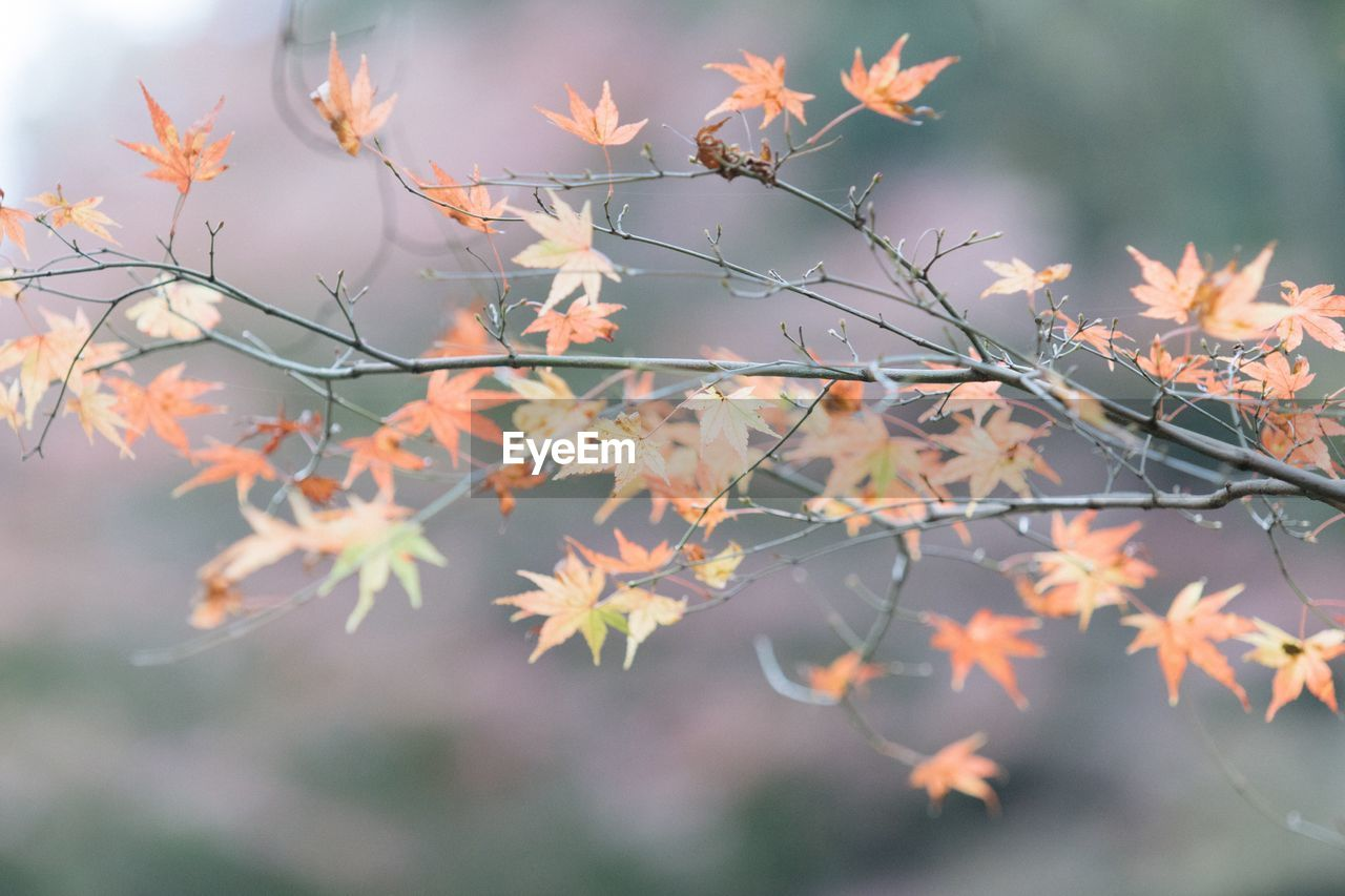 plant, beauty in nature, growth, plant part, nature, focus on foreground, leaf, day, no people, close-up, tree, autumn, selective focus, outdoors, change, fragility, tranquility, vulnerability, branch, maple leaf, leaves