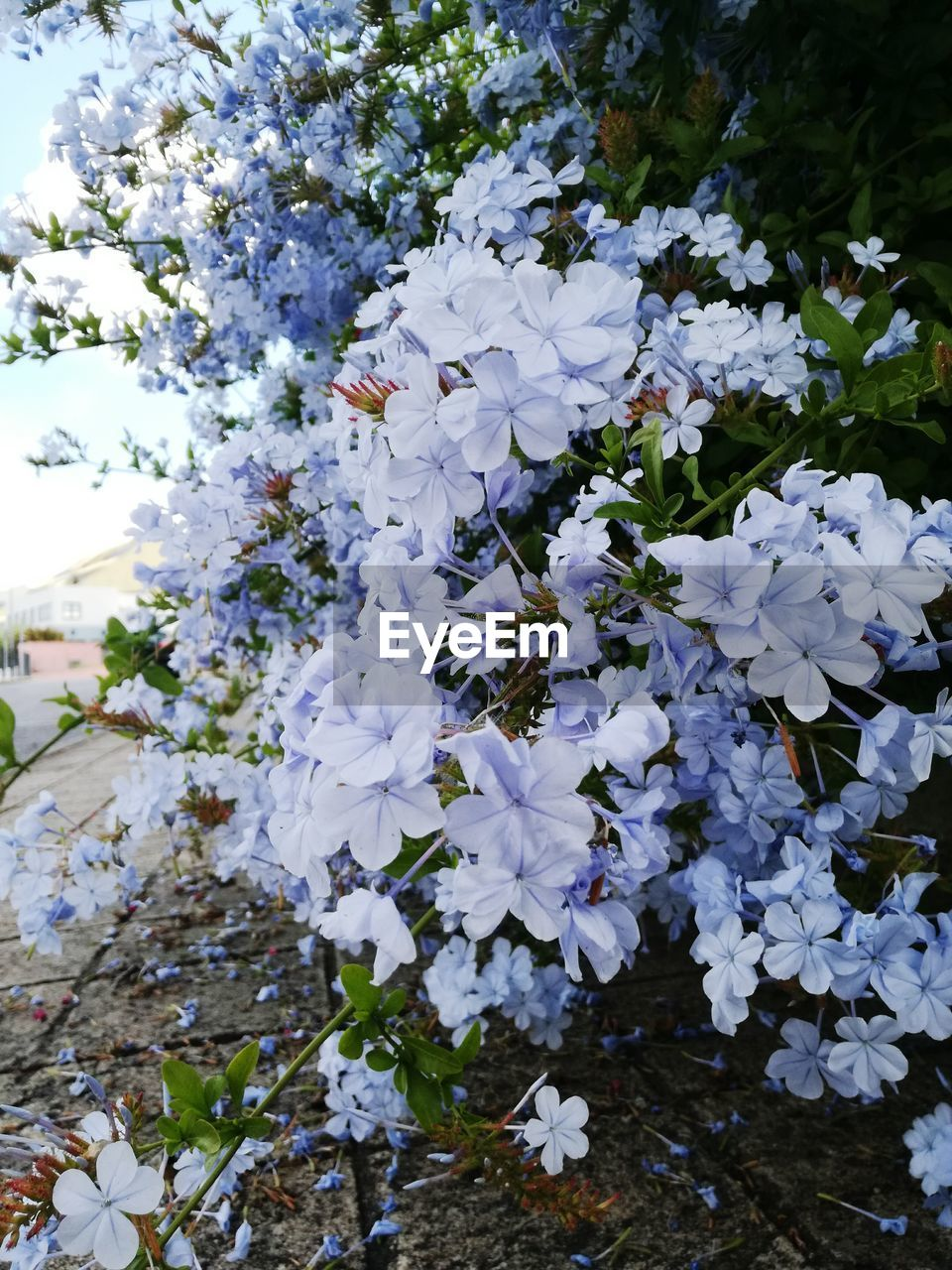 flowering plant, flower, beauty in nature, plant, fragility, vulnerability, freshness, growth, petal, white color, nature, close-up, no people, day, flower head, blossom, inflorescence, outdoors, springtime, abundance, spring, bunch of flowers