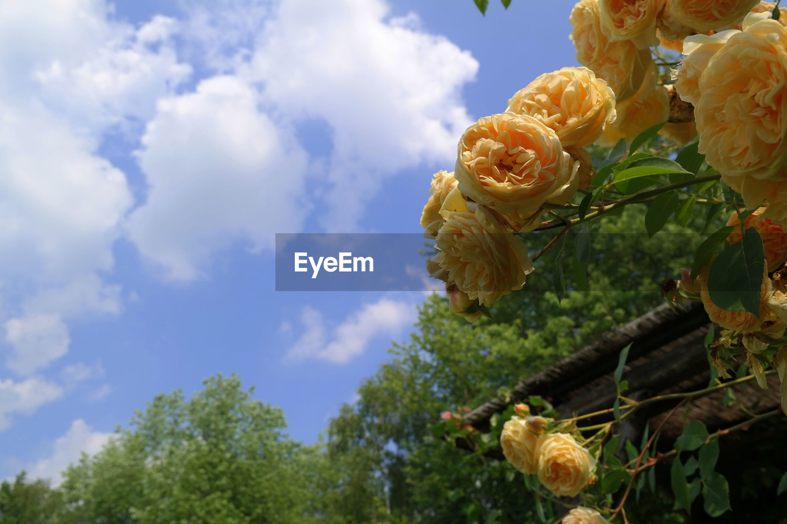 LOW ANGLE VIEW OF ROSE BLOOMING AGAINST SKY