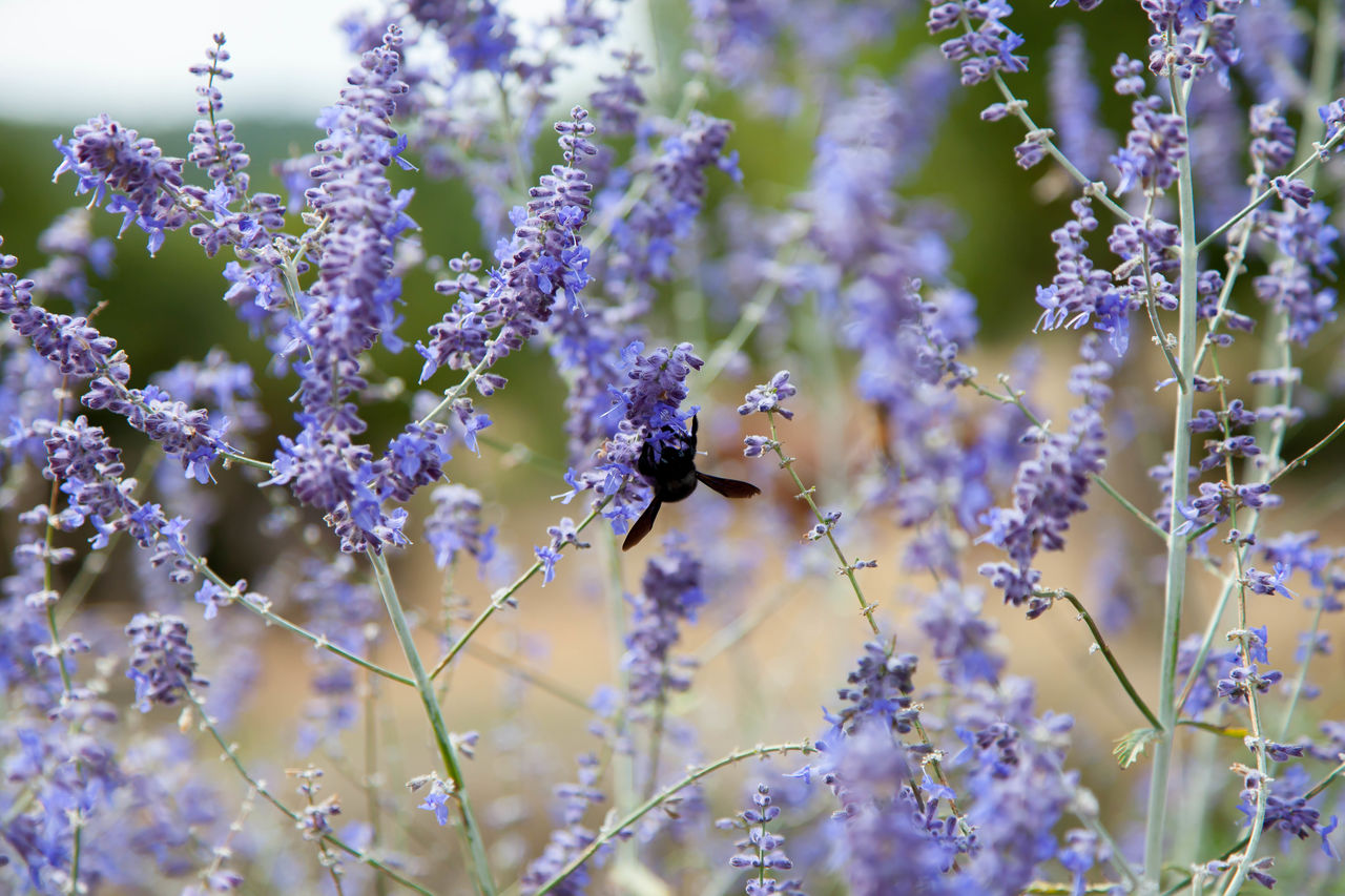 one animal, flower, animal themes, animals in the wild, animal, animal wildlife, flowering plant, invertebrate, insect, plant, fragility, vulnerability, beauty in nature, growth, freshness, bee, purple, lavender, pollination, close-up, flower head, no people, outdoors, springtime